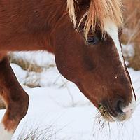 A Chincoteague pony (Equus ferus caballus) feeds in the snow, Chincoteague National Wildlife Refuge, Assateague Island, Virginia.