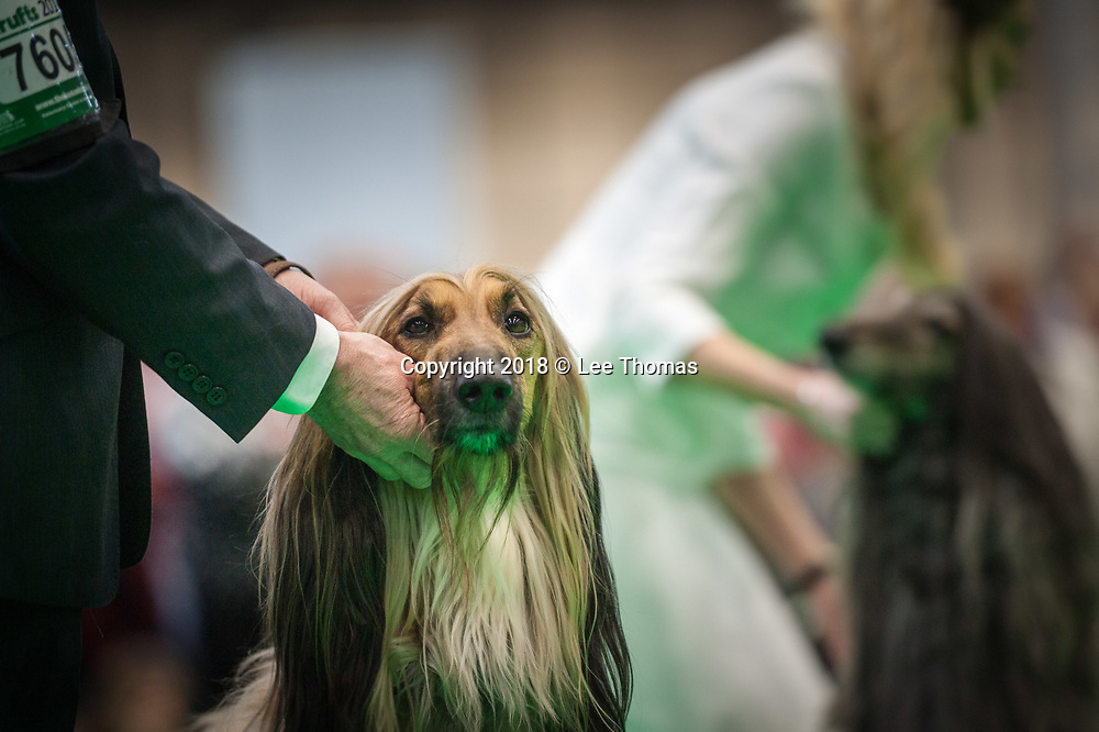 NEC, BIRMINGHAM, ENGLAND, UK. 9th MARCH 2018. Pictured: Afghan Hounds wait for the judges' decision in an early round of the competition. / First held in 1891, Crufts is said to be the largest show of its kind in the world, the annual four-day event, features thousands of dogs, with competitors travelling from countries across the globe to take part and vie for the coveted title of 'Best in Show'.  // Lee Thomas, Tel. 07784142973. Email: leepthomas@gmail.com  www.leept.co.uk (0000635435)