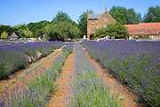Lavender plants at Norfolk Lavender garden centre attraction, Heacham, Norfolk, England
