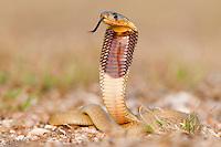 Juvenile Cape Cobra with reared hood, De Hoop Reserve, Western Cape, South Africa