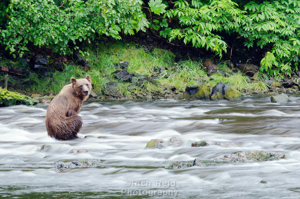 Time exposure of a Coastal Brown Bear sitting in a salmon river at Pavlof Harbor on Chichagof Island, Southeast Alaska.