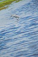 Alberto Carrera, Little Egret, Egretta garzetta, Kaudulla National Park, Sri Lanka, Asia