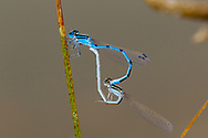 Familiar Bluet (Enallagma civile) - pair in copula<br /> United States: Texas: Midland Co.<br /> Sibley Nature Preserve; Midland<br /> 12-Aug-2017<br /> J.C. Abbott #2975