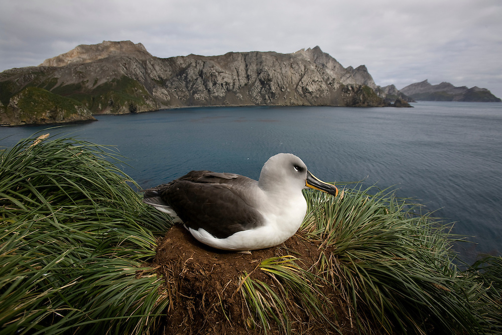 Antarctica, South Georgia Island (UK), Gray-headed Albatross (Diomedea chrystoma) at nesting site in cliffs overlooking Elsehul Bay on cloudy morning