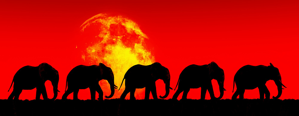 This image of a family of elephants crossing together across a stunning red sky is certainly going to grab your attention. There is no question that an image such as this will strike you as intensely evocative of something that is deep within yourself. This image doesn't simply depict a powerful scene of this elephant family journeying into the great beyond. You can also look to this image as something reminds you of your own thoughts about family. This art piece can be purchased as a canvas print, metal print, acryl print, or framed print. This piece can also be enjoyed across numerous interior products. .<br />