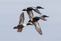 Three Northern Shoveler (Anas clypeata) ducks flying, Baylands Nature Preserve, Palo Alto, California, United States of America