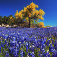 Tree surrounded by field of lupine wildflowers along the shore of Folsom Lake, California.