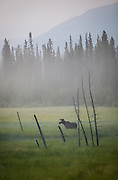 Moose in morning fog along Glenn Highway near Tok Cutoff; Yukon Territories, Canada