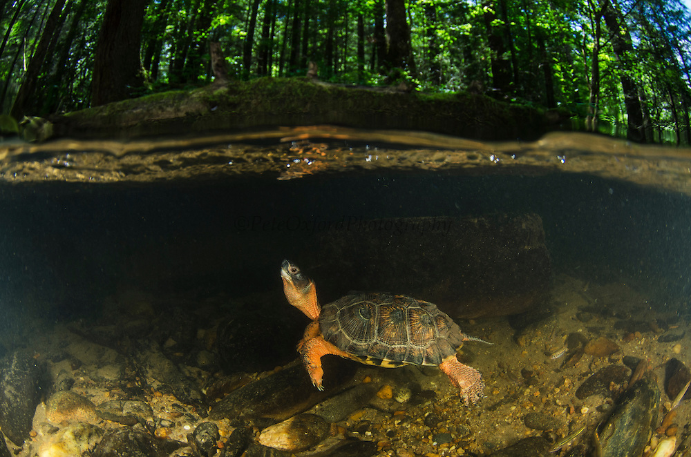 Wood Turtle (Glyptemys insculpta) swimming underwater<br /> CAPTIVE<br /> USA<br /> HABITAT &amp; RANGE: Near streams and rivers form Nova Scotia to Minnesota and Virginia.<br /> ENDANGERED SPECIES