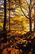 Autumn color, sun backlighting, Promised Land State Park, Pennsylvania