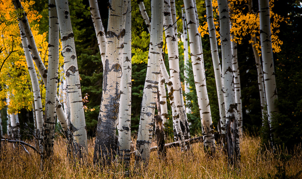 Aspen trees with fall colors