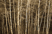 Aspen trees; Turnbull National Wildlife Refuge, eastern Washington.