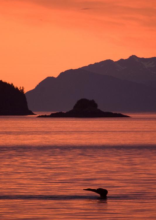 A humpback whale (Megaptera novaeangliae) dives under a brilliant orange sunset in Frederick Sound