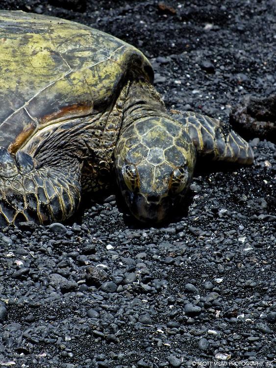A Hawaii Green Sea Turtle rests after a day of eating algae and sea grass at Punaluu Bay, Big Island, Hawaii