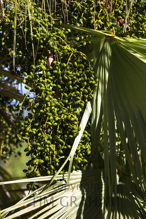 Date palm tree with abundance of dates growing in sub-tropical climate of Corfu, Greece