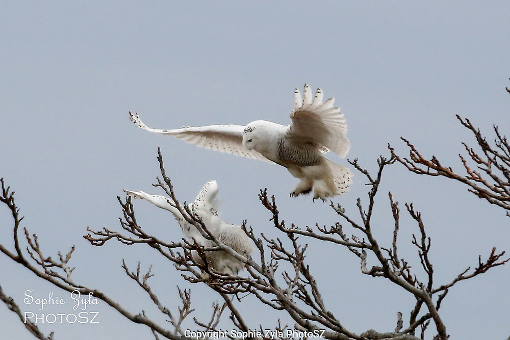 Too late to escape the Snowy Owl