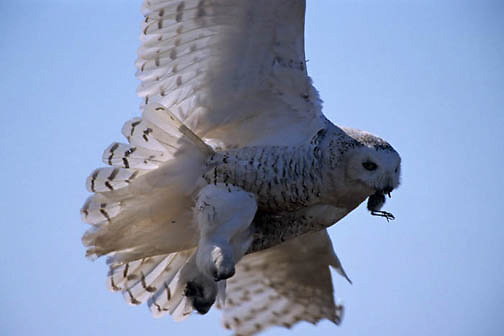 Snowy Owl, (Nyctea scandiaca) Female bringing bird kill in to chicks to feed. Barrow, Alaska.