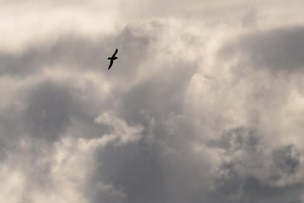 Fulmar in flight against looming sky, Lunga, Scotland
