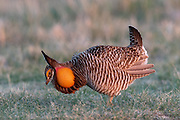 Greater Prairie Chicken displaying on a lek