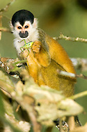 Black-crowned Central American Squirrel Monkey (Saimiri oerstedii oerstedii) eating katydid (Tettigoniidae)<br /> COSTA RICA<br /> Corcovado National Park<br /> Sirena Biological Station<br /> 25-Feb-2007<br /> J.C. Abbott