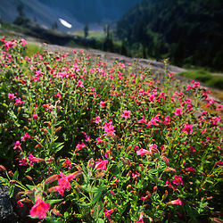 Rock Penstemon (Penstemon rupicola) at Norway Pass, Mt. St. Helens National Volcanic Monument, Washington, US