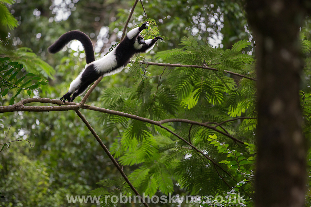 Black and White Ruffed Lemurs are agile for their size and move by walking or running on larger branches and leaping great distances from tree to tree.