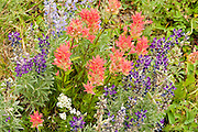 Purple-blue lupine and red-salmon colored Indian paintbrush flowers bloom on Apikuni Falls Trail in Glacier National Park, Montana, USA. Lupinus is a genus in the pea family (also called the legume, bean, or pulse family, Latin name Fabaceae or Leguminosae). Castilleja, commonly known as Indian paintbrush or Prairie-fire, is a genus of about 200 species of annual and perennial herbaceous plants native to the west of the Americas from Alaska south to the Andes, as well as northeast Asia. Castilleja is classified in the family Orobanchaceae, and is hemiparasitic on the roots of grasses and forbs.