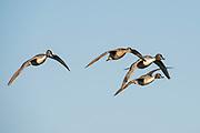 Northern Pintails, Anas acuta, Harsen's Island, Michigan