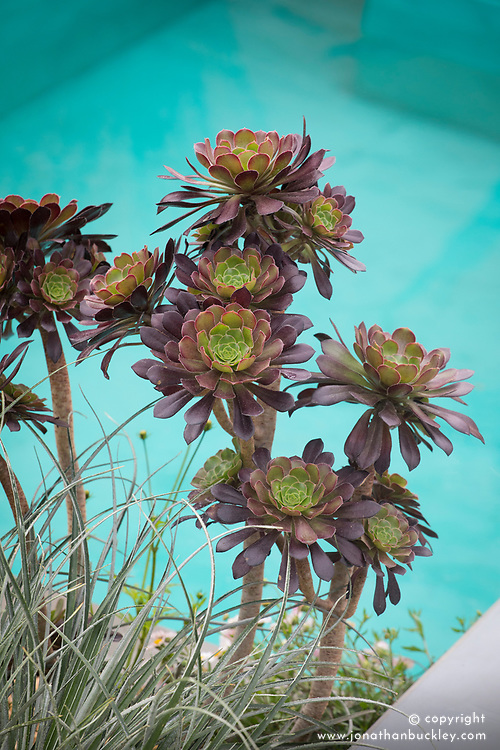 Aeonium 'Zwartkop'<br /> Beneath a Mexican Sky Garden<br /> RHS Chelsea Flower Show 2017<br /> Design: Manoj Malde<br /> Built by: Living Landscapes<br /> Sponsored by: Inland Homes PLC<br /> Photography &copy; Copyright Jonathan Buckley