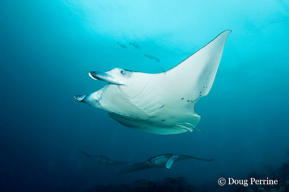 manta rays, Manta alfredi (formerly Manta birostris ), at cleaning station; closest ray has apparent shark bite out of left pectoral fin; Manta Point, Lankan, North Male Atoll, Maldives ( Indian Ocean )