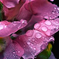 Rain drops on rose petal / dr025