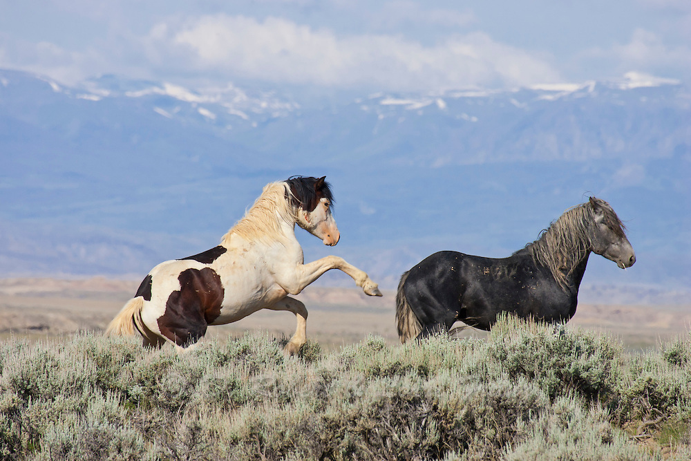 Wild horse or mustang stallions fighting