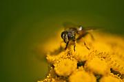 Syrphid fly (Helophilus fasciatus) on Tansy wildflowers (Tanacetum vulgare) <br />Kenora<br />Ontario<br />Canada