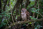 A barred owl rest on a branch in the early morning hours at Florida's Corkscrew Swamp Sanctuary