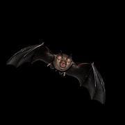 Rhinolophus horseshoe bat in flight in Kaeng Krachan National Park, Thailand. Horseshoe bats make up the bat family Rhinolophidae.