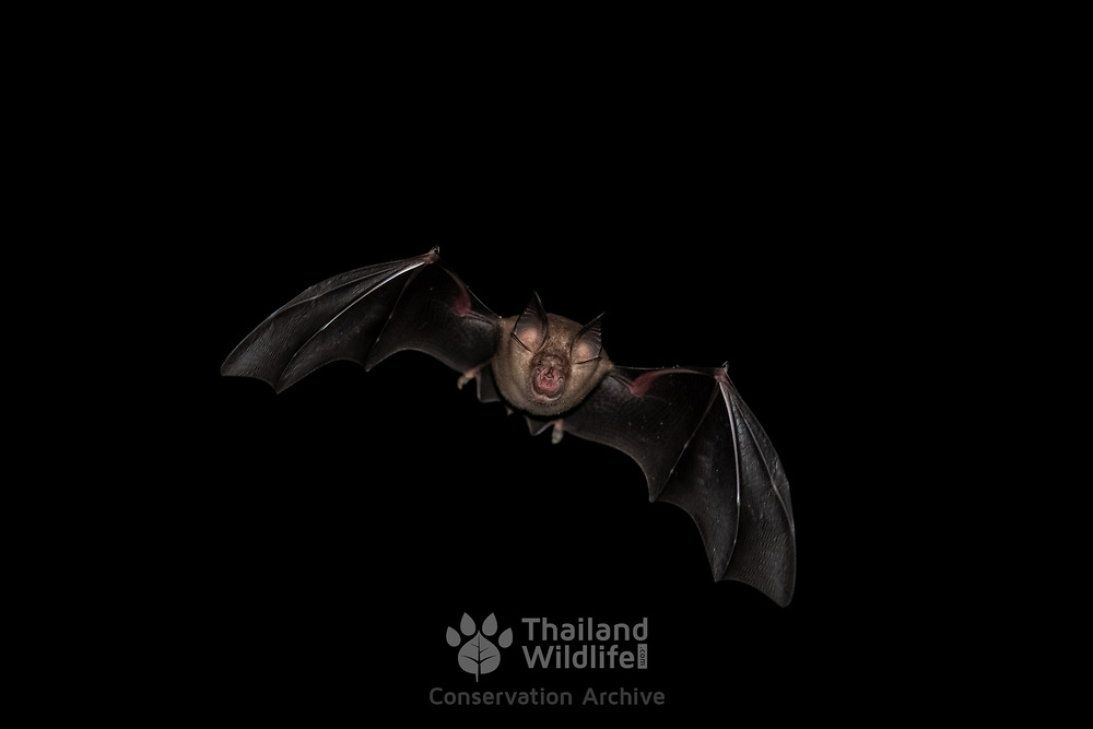 Rhinolophus horseshoe bat in flight in Kaeng Krachan National Park, Thailand. Horseshoe bats make up the bat family Rhinolophidae.
