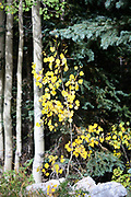 As the season turns cold, the delicate aspen tree starts to turn yellow.