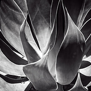 Cactus detail in black and white.
