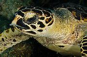 Hawksbill Turtle (Eretmochelys imbriocota)<br /> BONAIRE, Netherlands Antilles, Caribbean<br /> HABITAT & DISTRIBUTION: Reefs and open water. Most common in Caribbean