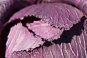 Purple cabbage in the garden of a Master Gardener