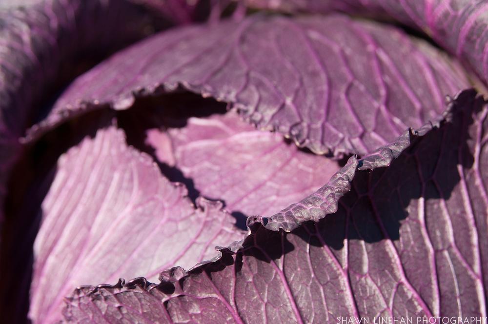 Purple cabbage in the garden of a Master Gardener