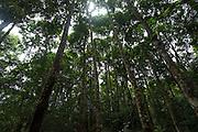 Arboles en bosque primario,  corredor biológico de Bagres   Comunidad indígena La Chunga, Comarca Embera – Wounaan en la Provincia de Darién, Panamá.  La Chuga, ubicada en el  Rio Sambu, forma parte del corredor biológico de Bagres con sus inmensos bosques tropicales.