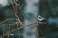 A willow tit (Parus montanus) perches on a tree branch as snow falls.