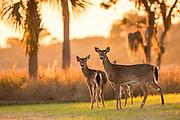 Deer gather along the marsh at sunset on Fripp Island, SC.
