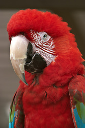 03 July 2006  A quick vacation through Iowa to Omaha.  Red headed macaw. (Photo by Alan Look)