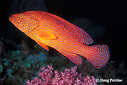 coral grouper, jewel grouper, coral trout, or coral cod, Cephalopholis miniata, Thailand ( Andaman Sea, Indian Ocean )