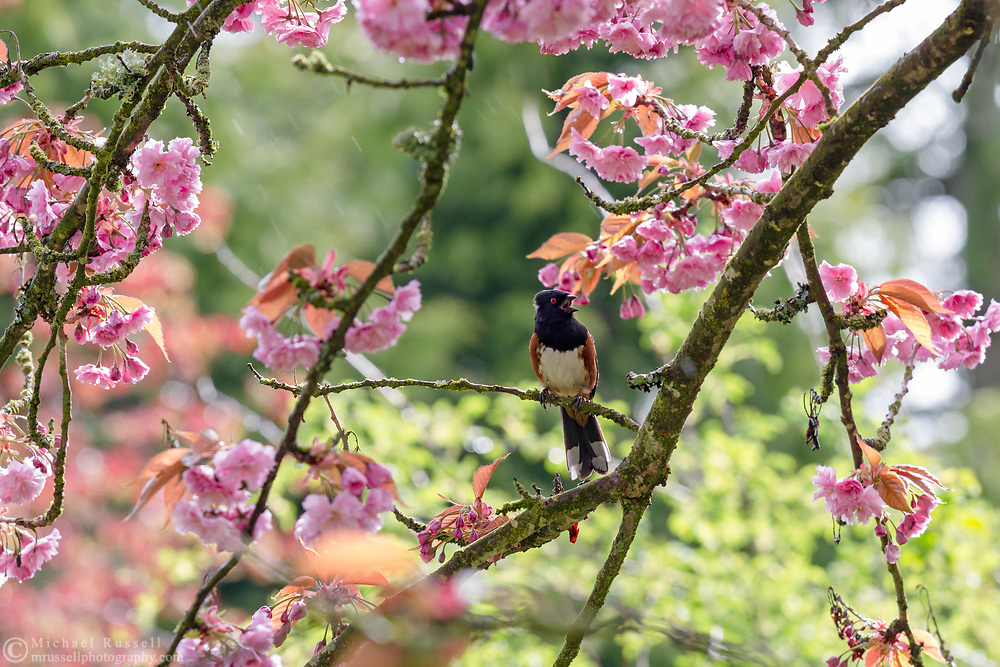 A male Spotted Towhee (Pipilo maculatus) singing in a flowering Kanzan (or Kwanzan) Cherry tree during a spring day.