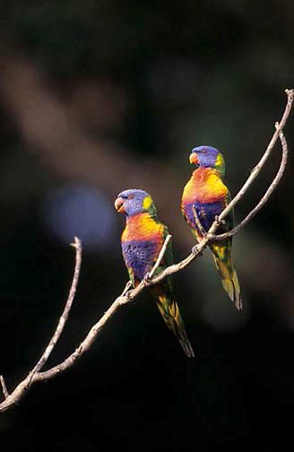 Rainbow Lorikeet, (Trichogiossus haematodus) Eastern Australia.
