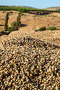 Pile of freshly picked almonds drying in the sun
