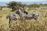 Two zebras resting heads on each other's back, Masai Mara, Kenya